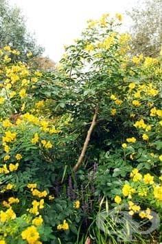 Майчин лист, Сена, Касия - изображение