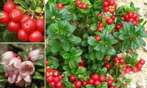 Боровинка червена, Кокази, Кокоз, Суница, Червена брусница - изображение