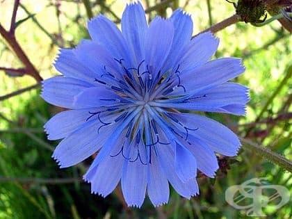 Синя жлъчка, Цикория, Бърдовка, Дъвка, Синя млечка - изображение
