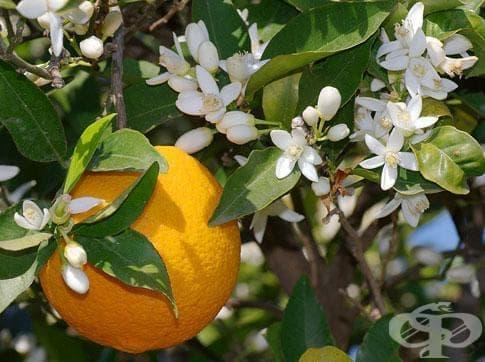 Червен портокал, Кървав портокал - изображение