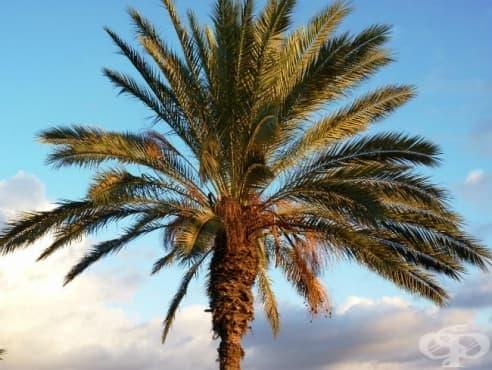 Финикова палма - изображение