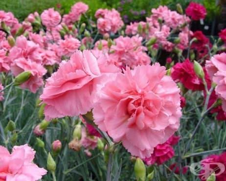 Градински карамфил - изображение