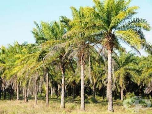 Маслена палма - изображение
