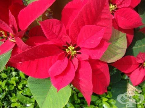 Коледна звезда, Понсетия - изображение