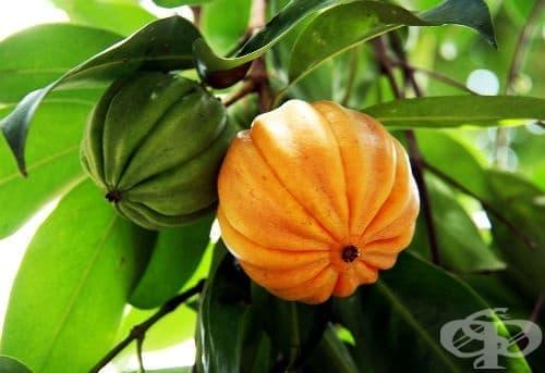 Гарциния камбоджа, Индийска ягодка - изображение