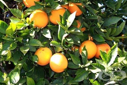Горчив портокал, Севилски портокал, Кисел портокал - изображение