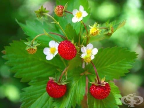 Горска ягода, Зуница, Звоница, Пламеница, Плюскавица, Плашунка - изображение