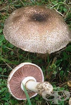 Горска печурка, Кафява горска печурка - изображение