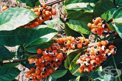 Гуарана, Сапуново дърво - изображение