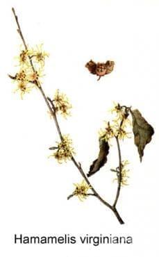 Хамамелис, Вирджински орех - изображение