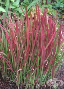Кунайска трева, Царска трева - изображение