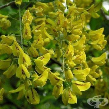 Жълт салкъм, Златен дъжд, Жълта акация - изображение