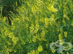 Жълта комунига, Жълто биле, Трилистник, Церителна детелина, Едър звездел - изображение