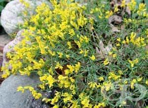 Жълтуга, Багрилна жълтуга, Бояджийска жълтуга, Цветило, Типец - изображение