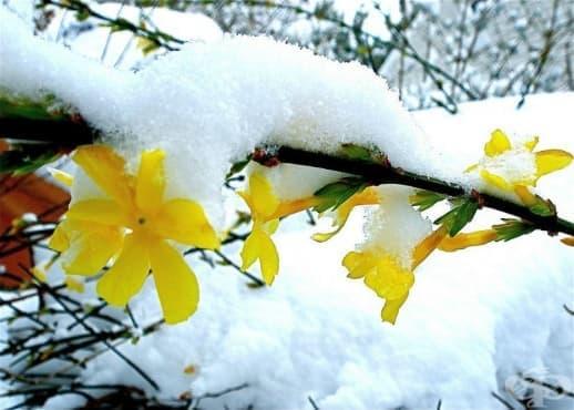 Зимен жасмин - изображение