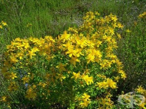 Жълт кантарион, Звъника, Порезниче, Кърски чай,  Шуплек - изображение