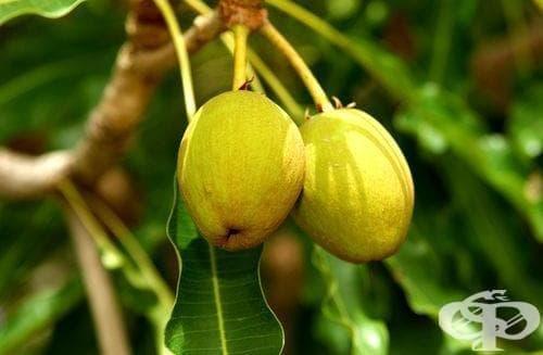 Карите, Ший, Маслено дърво - изображение