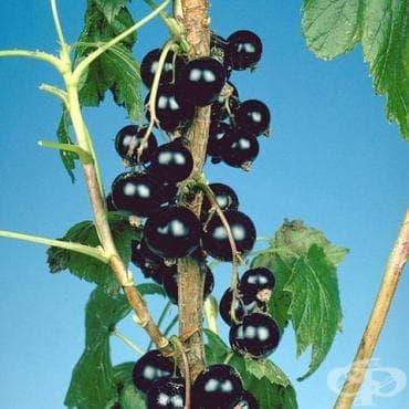Френско грозде, Черно френско грозде - изображение