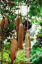 Кигелия, Колбасно дърво - изображение