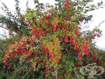 Кисел трън, Царево грозде, Царско дърво, Шербет, Жълтеника, Див киселец, Берберис - изображение