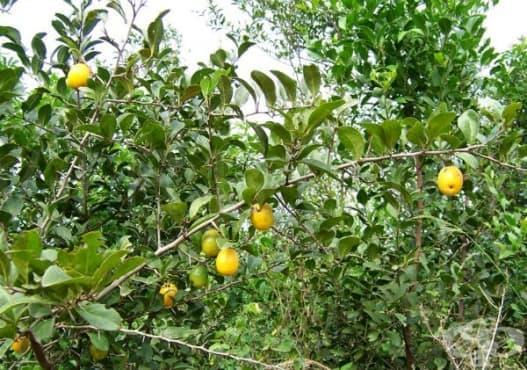 Ксимения, Морски лимон - изображение