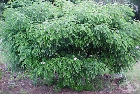 Къри, Дърво къри - изображение