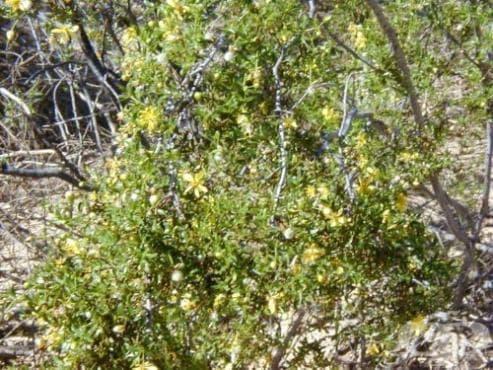 Ларея тризъба, креозотов храст - изображение