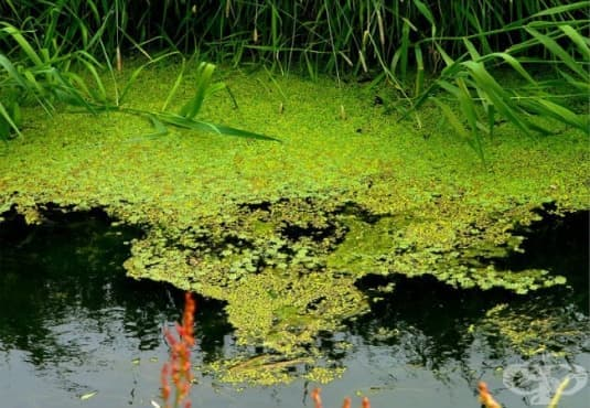 Водна леща - изображение