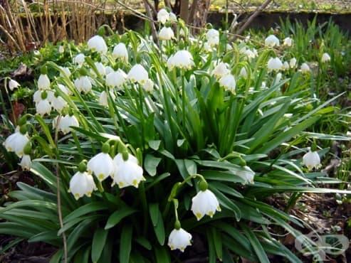 Пролетно блатно кокиче - изображение