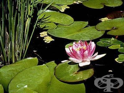 Водна лилия, Бяла водна лилия, Лотос, Водна роза, Русалка - изображение