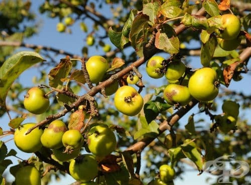 Киселица, Дива ябълка - изображение