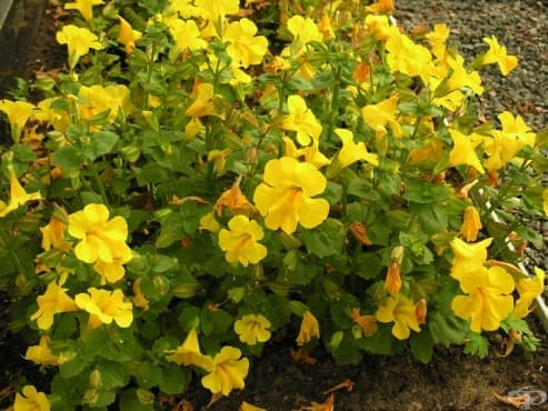 Жълто маймунско цвете - изображение