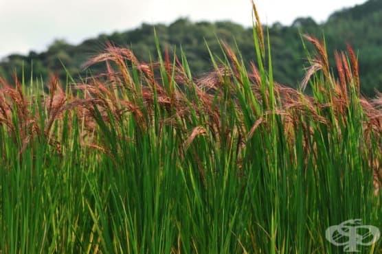 Червен ориз - изображение