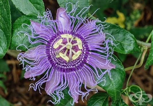 Пасифлора, Пасифлора инкарната, Страстно цвете, Мъченица, Часовник - изображение