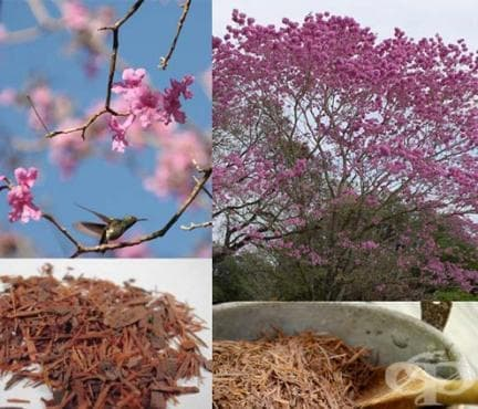 Мравчено дърво, Розово лапачо, Пау Де арко - изображение