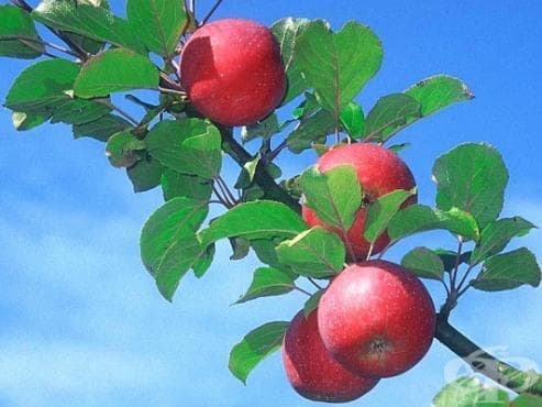 Ябълка - изображение