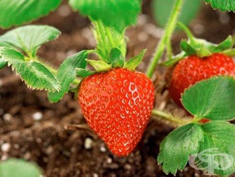 Ягода, Градинска ягода - изображение