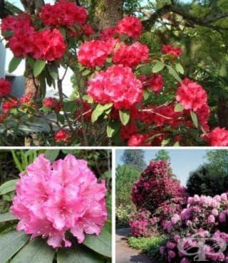 Рододендрон, Азалия, Розово дърво, Азалея - изображение