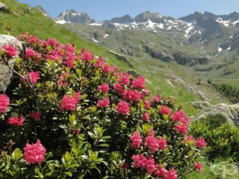 Алпийска роза - изображение