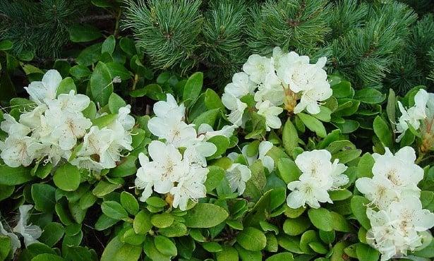 Рододендрон, Азалия, Азалея - изображение