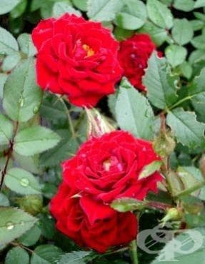 Роза - изображение