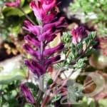 Росопас, Димянка, Горчива трева - изображение
