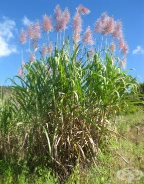 Захарна тръстика - изображение