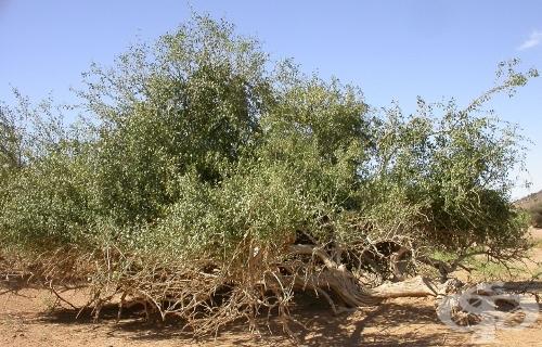 Синапено дърво, Дърво горчица, Храст горчица - изображение