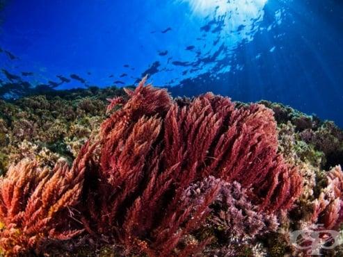 Червени водорасли - изображение