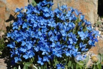 Синя тинтява, Горчива трева, Мъжка тинтява - изображение