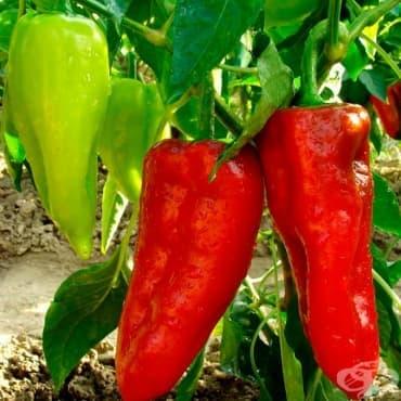 Пипер, Червен пипер, Сладък червен пипер - изображение