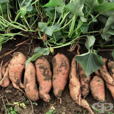 Сладък картоф - изображение