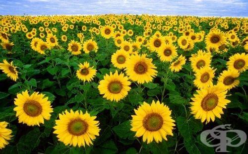 Слънчоглед - изображение