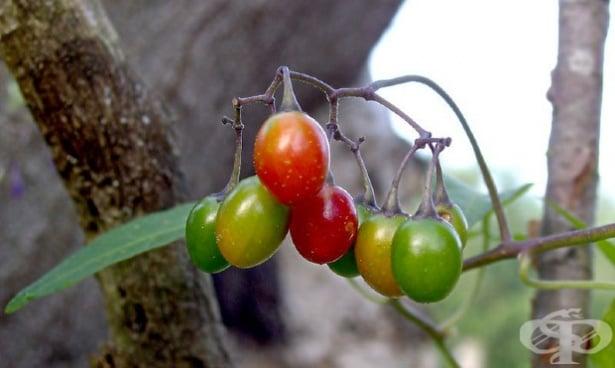 Кучешко червено грозде, Дяволско грозде, Отровачка, Разваленка, Разгул - изображение